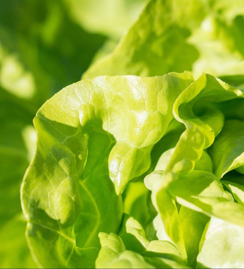 Lettuce from seed