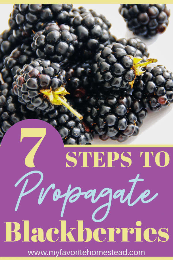 Want to increase your thornless blackberry crop for free? Propagate your blackberries to increase your yield. #blackberries #blackberry #propagateblackberries