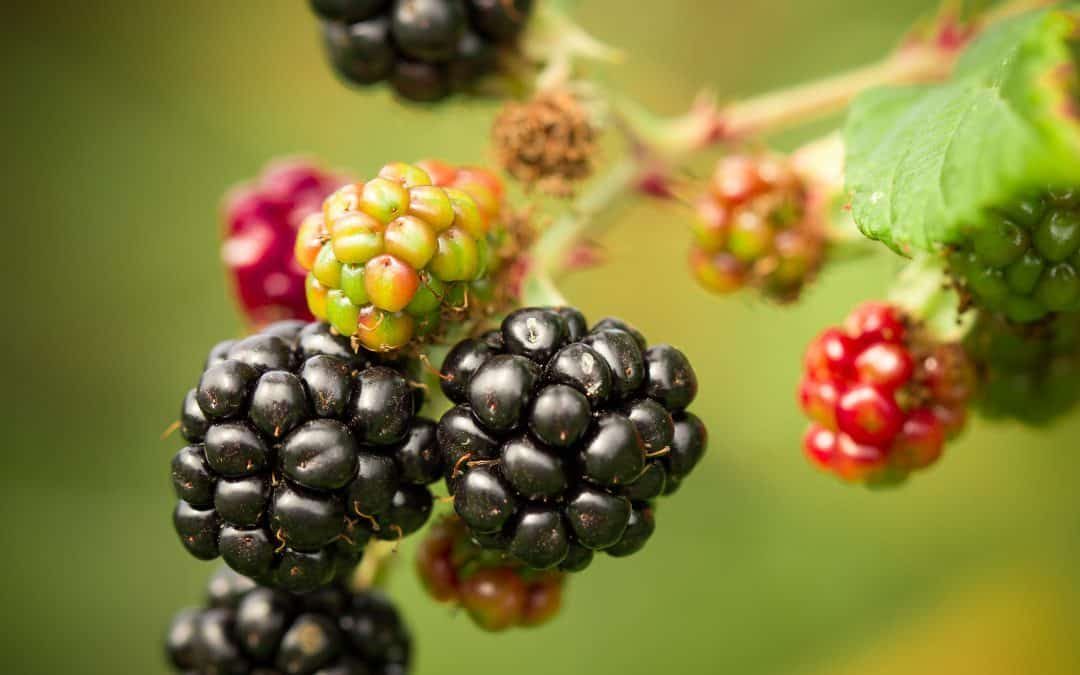 7 Steps to Propagate Tame Blackberries