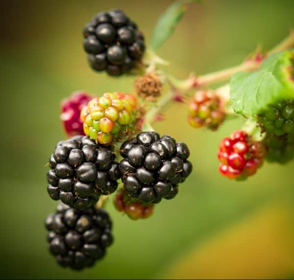 Check out these 7 easy steps to propagate blackberries in order to increase your crops. These thornless or tame blackberries solve the problem of dealing with all the thorns. #blackberries #blackberry #propagateblackberries
