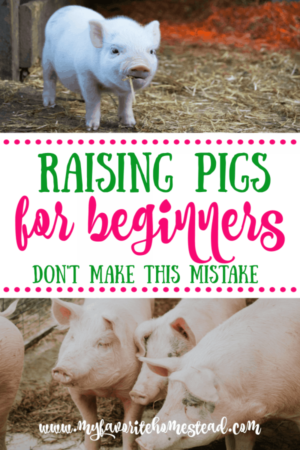 Raising pigs for beginners - don't make this mistake