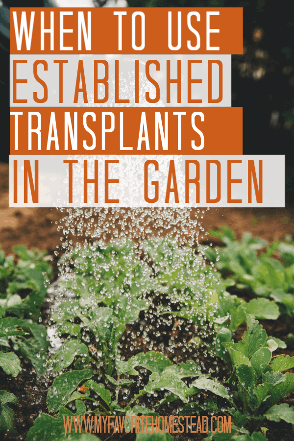 When to Use Established Transplants in the Garden