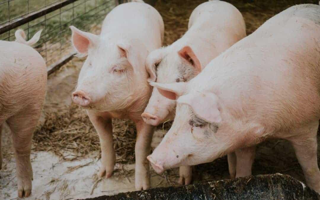 Top Mistake Raising Pigs